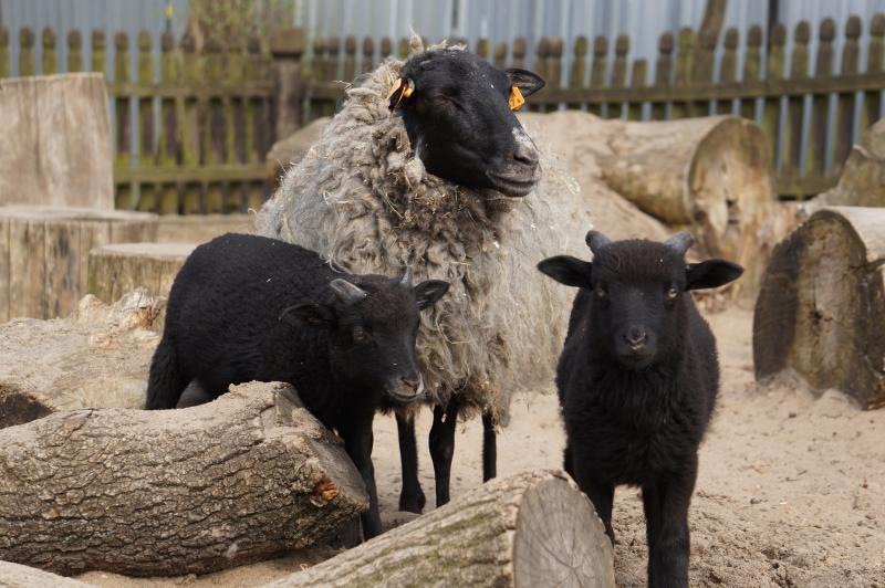 Strzyża owiec wZOO