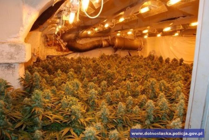 Narkotykowa plantacja za 3 miliony złotych