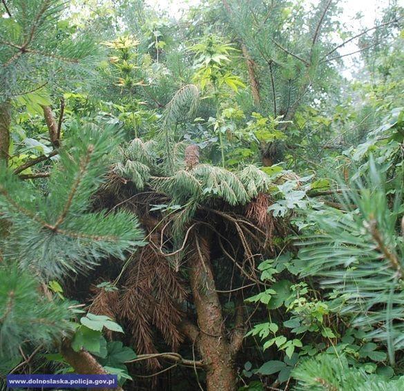 Innowacyjna plantacja - marihuana rosła na… drzewie