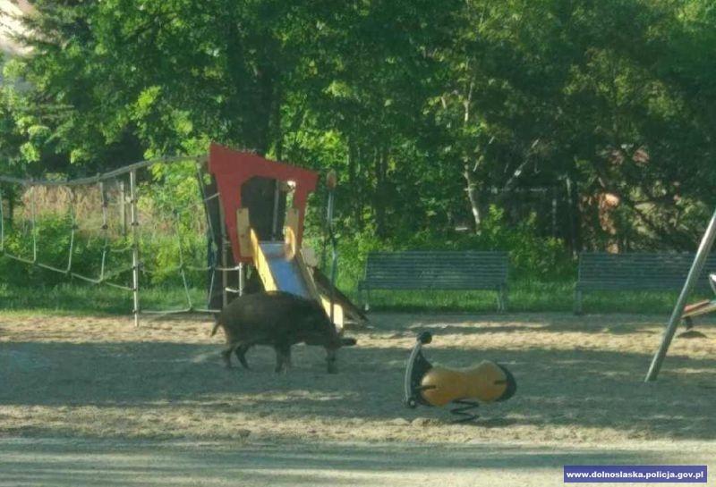 Dzik na placu zabaw zagrażał dzieciom