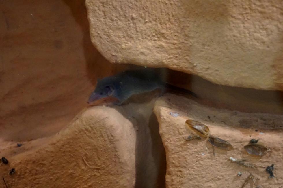 Najmniejszy ssak świata wewrocławskim zoo
