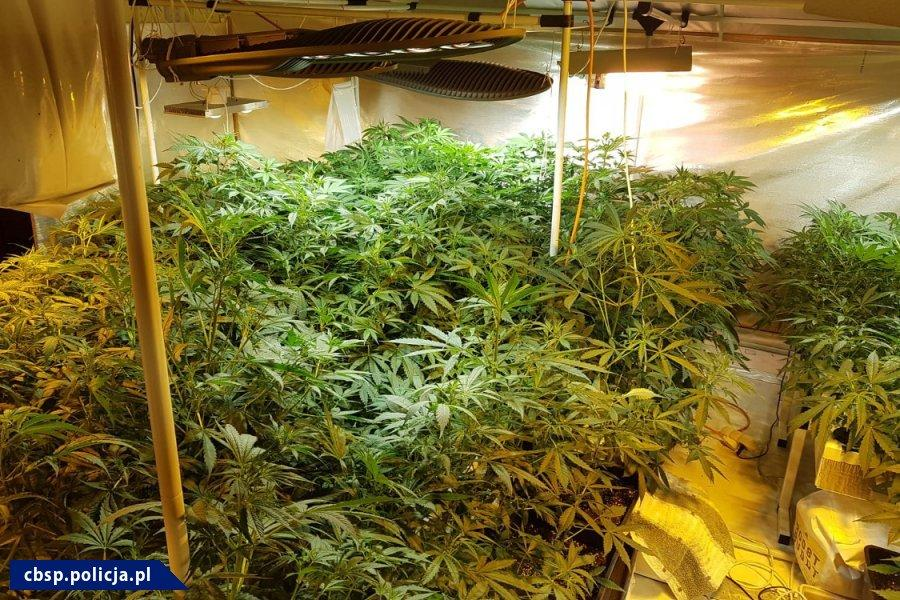 Ze zlikwidowanych plantacji można by uzyskać 120 kg marihuany