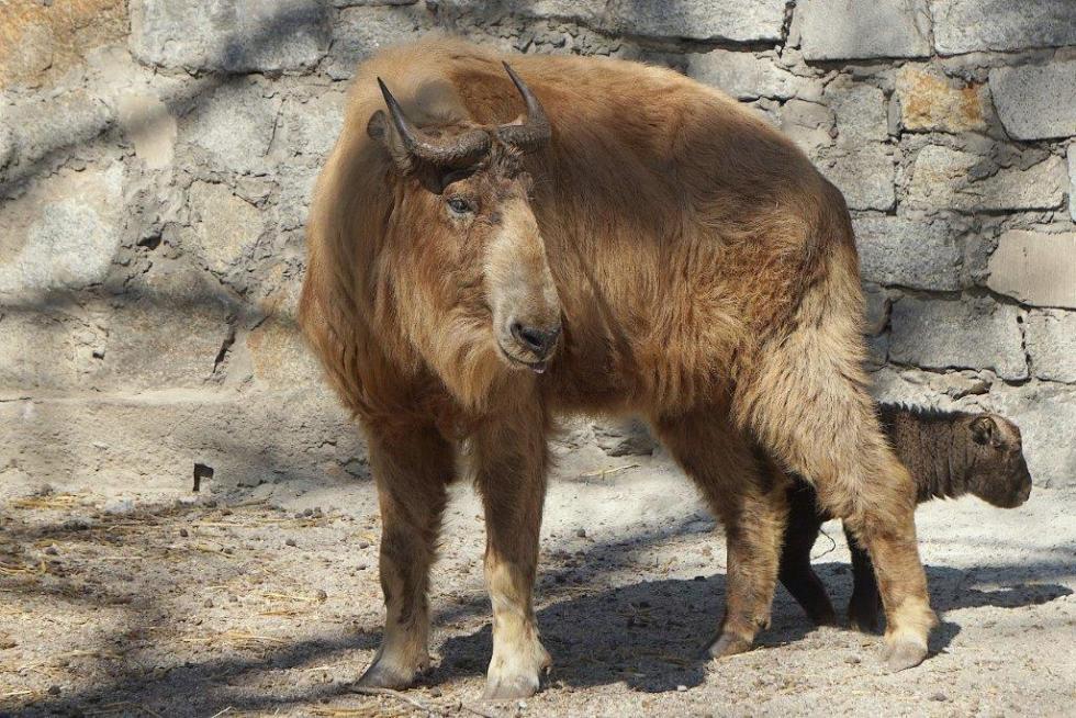 Sensacja wewrocławskim zoo - urodził się drugi wPolsce takin złoty