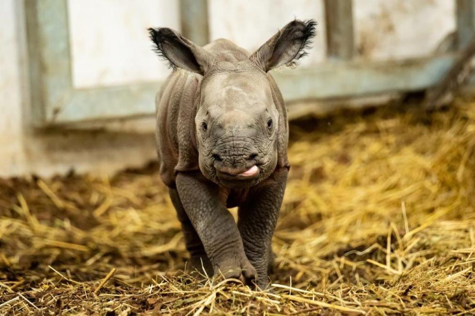 ZOO Wrocław - znamy imię małej nosorożki - KIRAN, czyli Promyk Słońca
