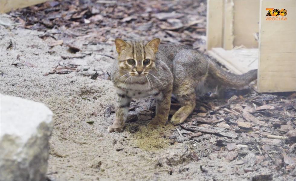 Nowy gatunek wZOO Wrocław - kotek rudy zCejlonu – najmniejszy kot świata